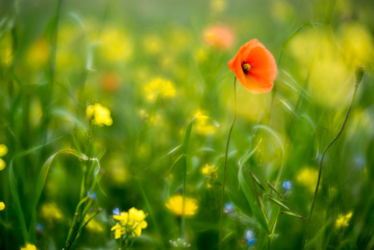 Outer Hebrides Beauty In Nature Blooming Close-up Field Flower Flower Head Flowers Fragility Freshness Green Color Growth Machair Nature No People Outdoors Petal Plant Poppies  Poppy Poppy Flowers Rural Scene Selective Focus Velvet56 Yellow