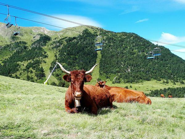 Cows Kühe Auf Der Weide Hochlandrinder Braun Frankreich Spanien Entspannt