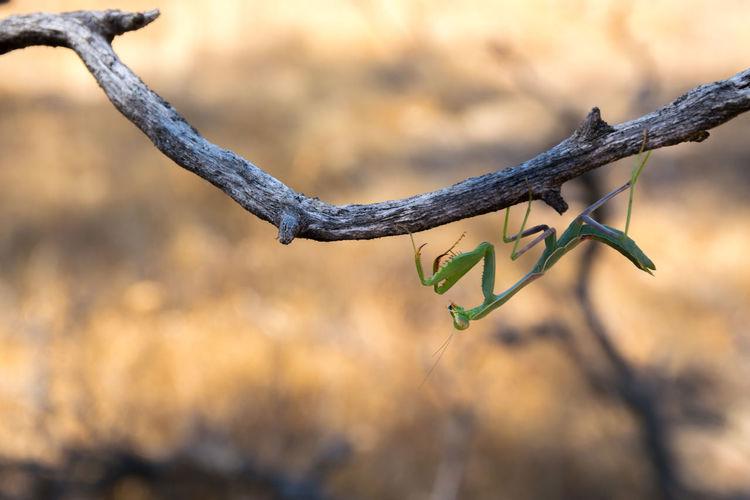Praying Mantis Close-up Growth Nature Twig Outdoors Branch Mantis Praying Mantis Insect Wildlife