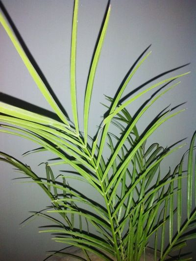 Palm Tree Palm Leaf Frond Leaf Nature Close-up No People Outdoors Day Freshness Beauty In Nature Tree_collection  TreePorn Treelovers Plant Photography Plant Part Plants 🌱 Plant Life Plantation Plant Lover Plantlife Plants Are Friends Plant_addiction Green Green Green!  Green Nature