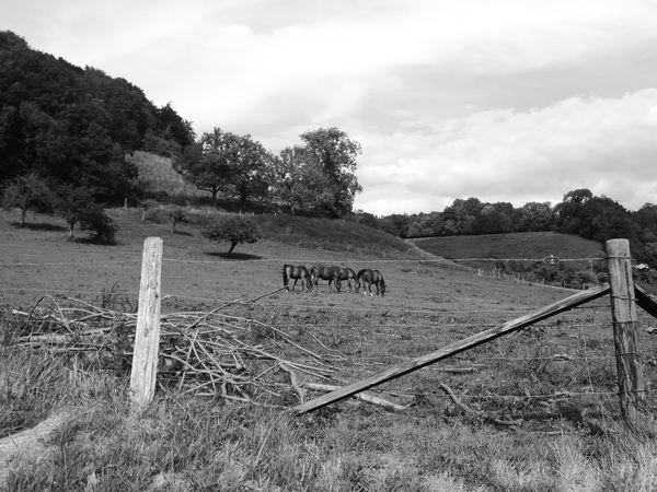 Horses Horse Campagne Blackandwhite Black And White Black & White France France 🇫🇷 Hello World Taking Photos Enjoying Life