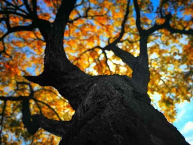 Autumn Orange Color Nature Outdoors Tree Leaf Sky Fall Blanch Tbilisi Georgia Steppenwolf Photography