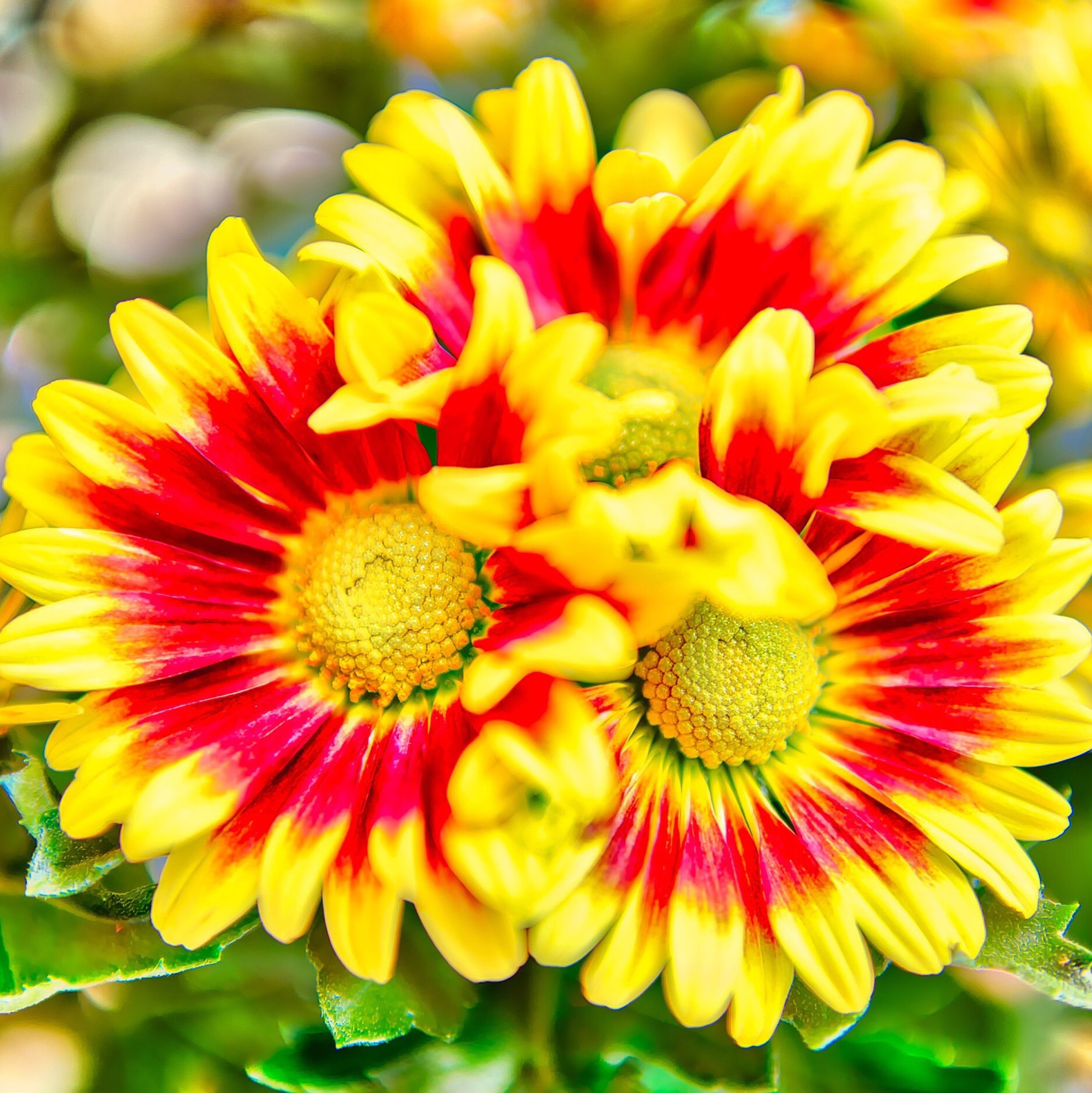 flower, fragility, petal, beauty in nature, freshness, nature, flower head, pollen, yellow, growth, close-up, outdoors, plant, no people, blooming, day, zinnia