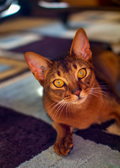 Domestic Cat Domestic Pets Cat Domestic Animals Mammal Feline One Animal Portrait Looking At Camera Focus On Foreground Whisker No People Indoors  Close-up Animal Eye Purebred Purebred Cat Family Love Cute Abyssinian  Abyssiniancat Young Animal