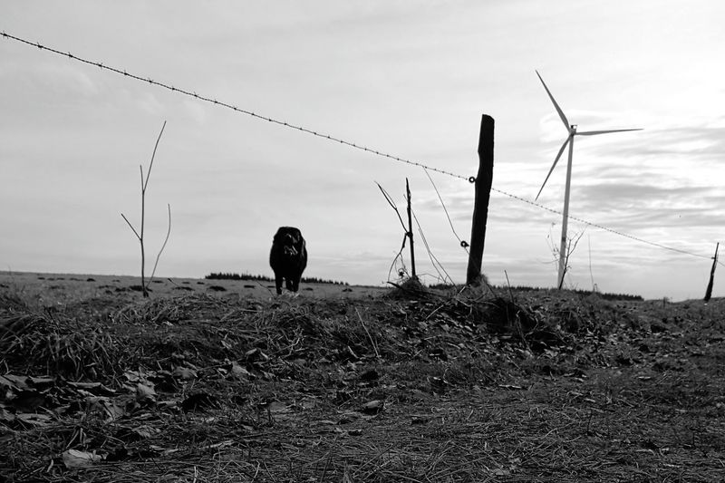 Beauty In Nature Tranquility Animal Themes Outdoors Nature Landscape Sky Grass No People Agriculture Day Beauty In Nature Black Labrador LabradorRetriever Black Color Blackandwhite