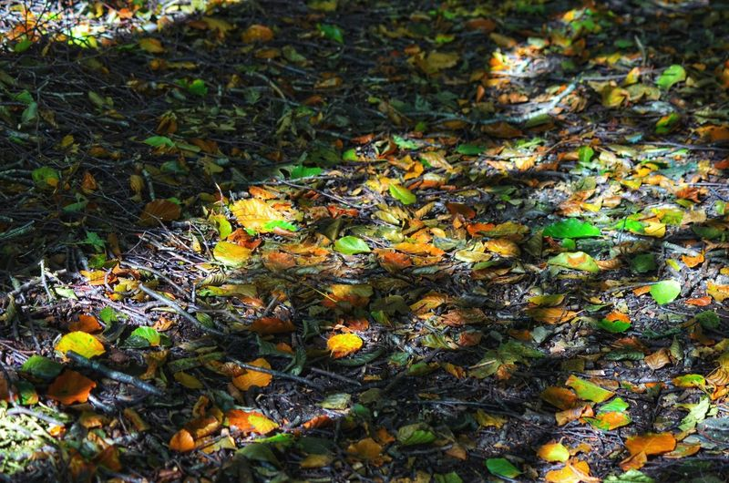 Forest Leaves Colorful Light And Shadow Forest Floor High Angle View Outdoors Nature Autumn Wilderness No People Simplicity Contrast Beauty In Nature Colorful Life Northgermany Landscape High Noon Leaf Plant Early Autumn Lovelynatureshots Vibrant Color Nature Wildlife