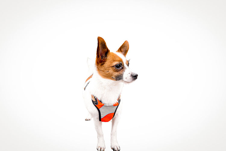 Small dog looking away against white background
