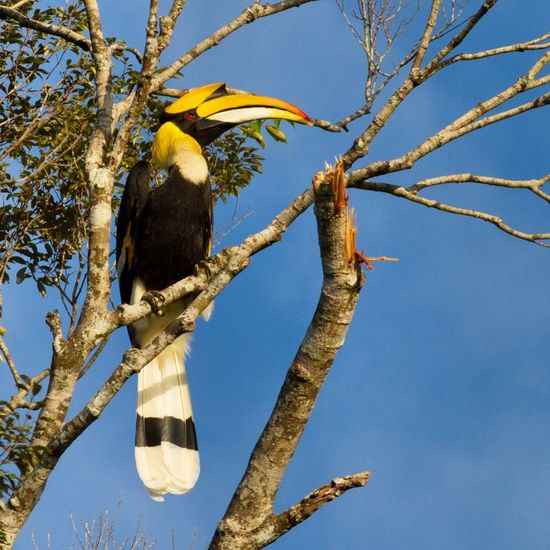 Animal Themes Animal Wildlife Animals In The Wild Beauty In Nature Bird Bokor Mountain Branch Cambodia Clear Sky Great Hornbill Hornbill Nature No People One Animal Outdoors Perching Tree