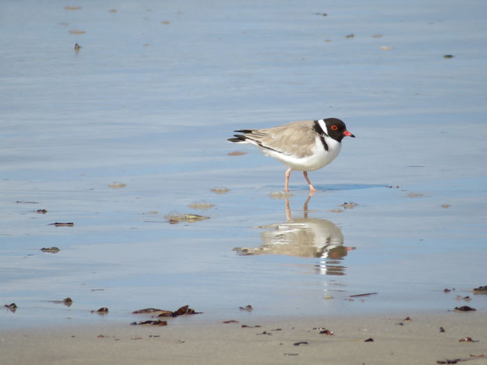 Sea Nature Reflection Hooded Plover Bird Water