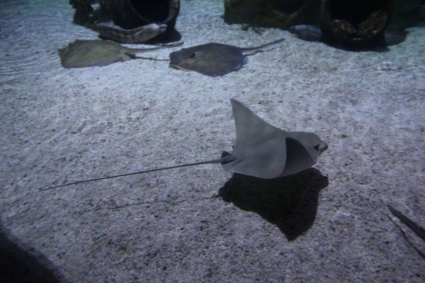 Animal Themes Day Group Of Animals Nature No People Sea Life Aquarium Sting Ray Tank Stingray Water