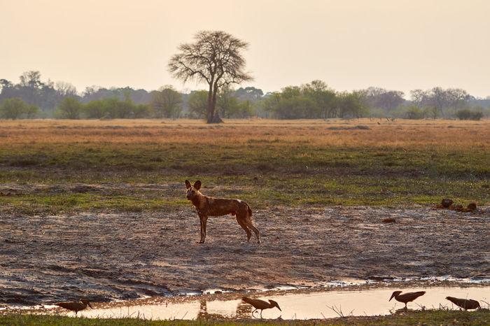 Wild dog at the water during sunset Botswana Family Hamerkop Wild Dog Animal Animal Wildlife Animals In The Wild Bird Day Dog Mammal Moremi Moremi National Park Nature No People Pack Sunset Water