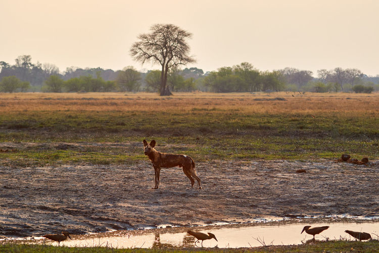 Wild dog at the water during sunset Botswana Family Hamerkop Wild Dog Animal Animal Wildlife Animals In The Wild Bird Day Dog Mammal Moremi Moremi National Park Nature No People Pack Sunset Water