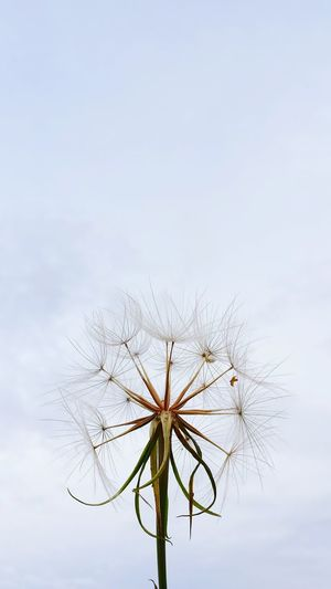 Sow Thistle Nature Sky Freedom