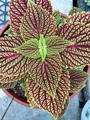 Coleus Flower Symmetry Flora And Fauna Veiny Leaf Purple Veins