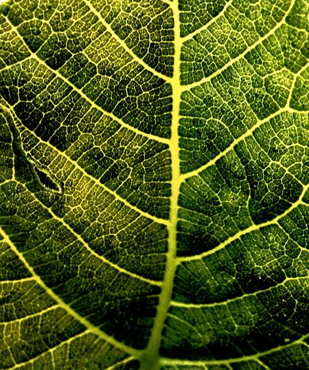 Movinginthewind Nervatures Leaf Color Green Vegetalanatomy Macro_collection EyeEm Best Shots