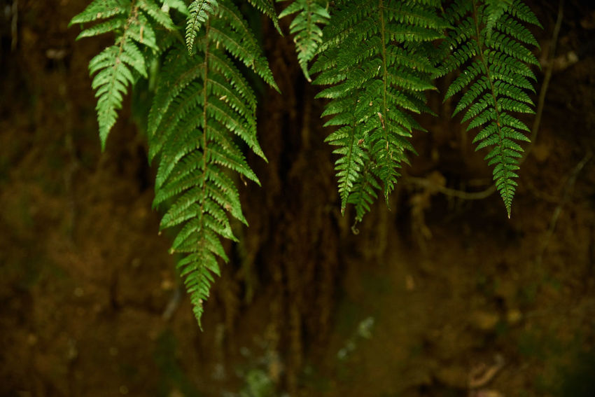 A7RII Sigma Beauty In Nature Close-up Day Fern Focus On Foreground Freshness Green Color Growth Lazio Leaf Monterano Nature No People Outdoors Plant Sigma 24-105 Art Sony Tuscia