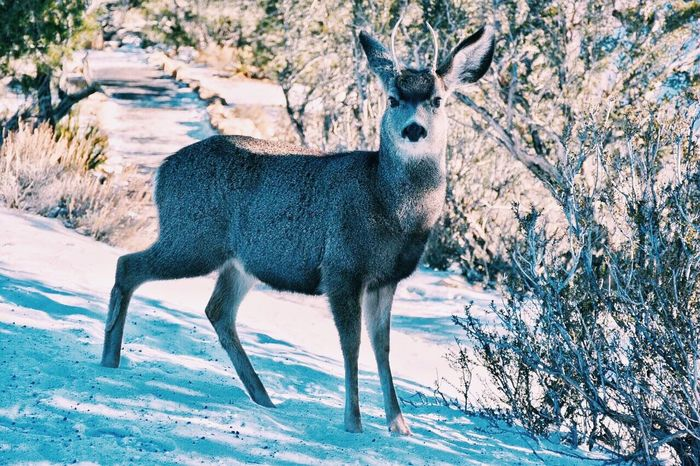 Photography Animal Themes One Animal Deer Deers Grand Canyon Mountain Snow Winter Forest Woods Wintertime Outdoors Weather Season  Nature Animal Day Nikon Eye Nature Photography Nature_collection Nature Naturephotography Animalphotography
