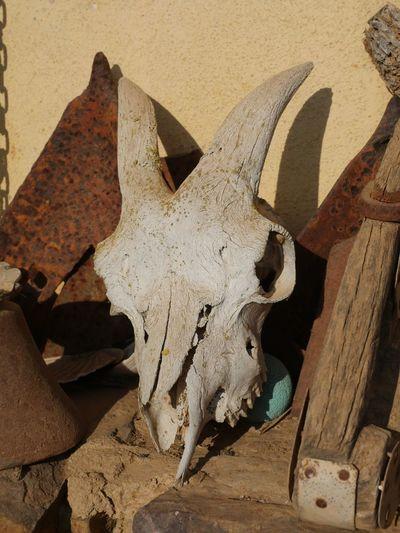 Goat Skull in