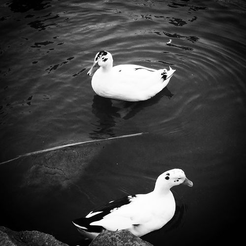 The Great Outdoors - 2017 EyeEm Awards Animal Themes Bird Water Duck Lake High Angle View Swimming Animals In The Wild White Color Swan Nature One Animal Waterfront No People Day Animal Wildlife Water Bird Floating On Water Outdoors Beauty In Nature