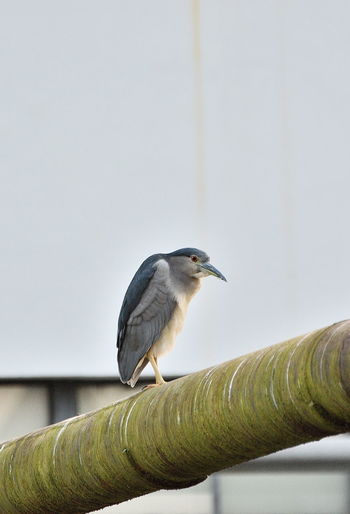 Low angle view of black crowned night heron perching on pipe