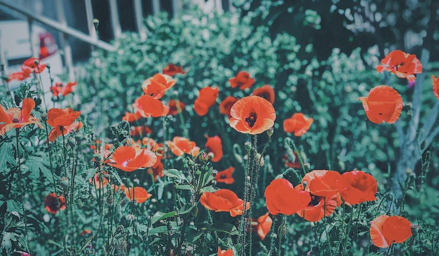 Plant Growth Nature Flower Flowering Plant Day Beauty In Nature Orange Color Close-up Vulnerability  Outdoors No People Freshness Focus On Foreground Fragility Red Flower Head Built Structure Botany Architecture
