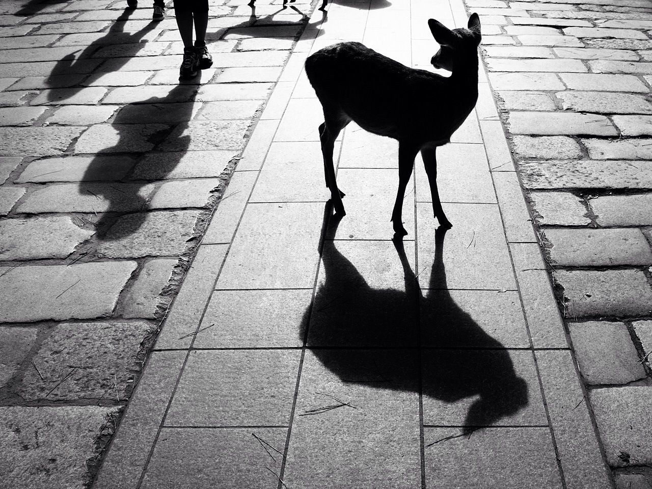 Deer standing on pavement