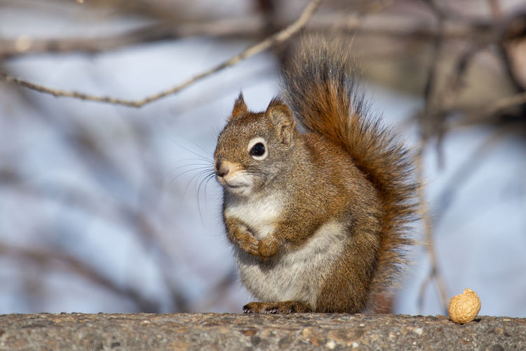 Squirrel with