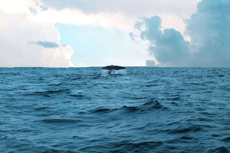 Humpback whale diving sea against sky