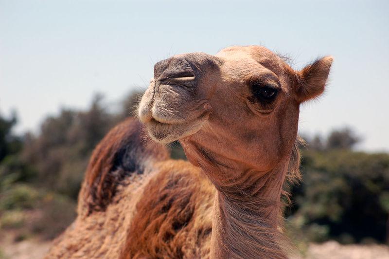 Desert Dromedar Morocco Animal Animal Head  Animal Themes Day Domestic Domestic Animals Focus On Foreground Heat Herbivorous Livestock Mammal Nature No People Pets Vertebrate