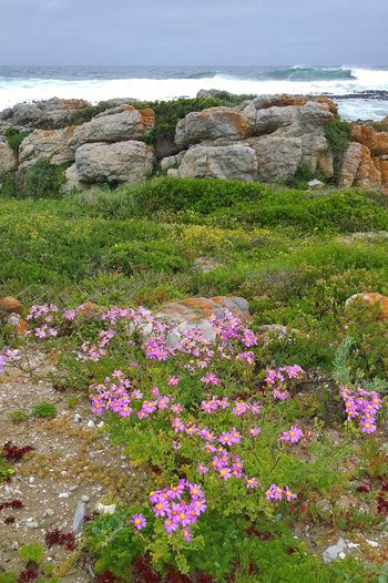 Flowering rocky seashore near Onrus, Cape Province, South Africa Cape Province Onrus South Africa Beauty In Nature Environment Flower Flowering Plant Landscape Nature No People Outdoors Plant Rock Rock - Object Scenics - Nature Sea Tranquil Scene Tranquility Wild Flowers