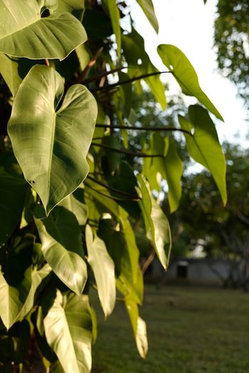 Close-up of leaves hanging on tree