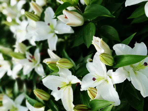 White lilies flowers Growth Nature Leaf Plant Flower Freshness Flower Head Green Color Lily Lilies Lilies In Bloom Fullframe Pure