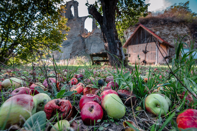 View of apples growing on field