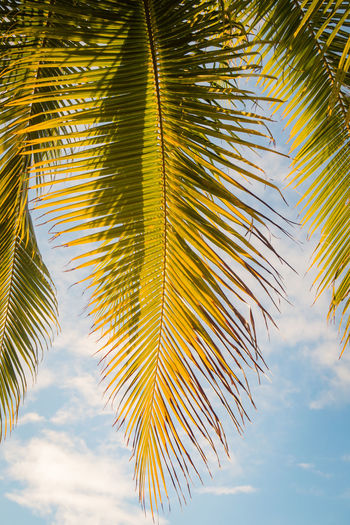 close up of a palm leaf at sunset French Polynesia Pacific Travel Beauty In Nature Close-up Cloud - Sky Day Green Color Growth Leaf Low Angle View Nature No People Outdoors Palm Leaf Palm Tree Plant Plant Part Scenics - Nature Sky Tahiti Tranquility Travel Destinations Tree Tropical Climate The Great Outdoors - 2018 EyeEm Awards