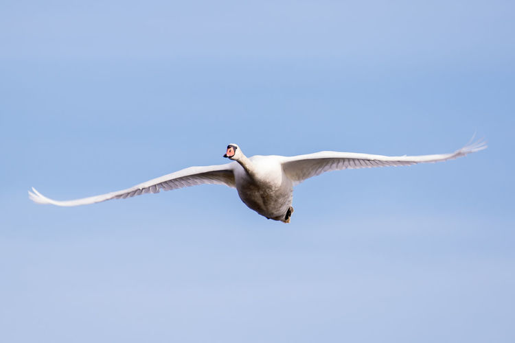 Close-up of swan flying
