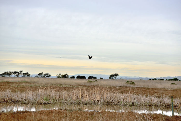 Coyote Hills 6 Coyote Hills Regional Park 978 Acres Southeast San Francisco Bay Small Mountain Range Rolling Hills Tidal Wetlands Marshlands Grasslands Wildlife Refuge Birds Of Prey Salt Pond Reflection Reflections In The Water Birds In Flight Hiking ❤️ Biking & Equestrian Trails Nature Nature Collection Beauty In Nature Landscape Landscape_Collection 2,000 Year Old Tuibun Ohlone Indian Site Trees Eastbay Regional Park District Horizon Over Water Scenic Reed - Grass Family Channel