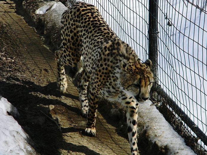 Side view of a leopard