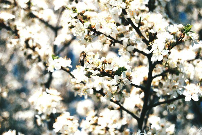 Tree full of flowers in spring Little Bee Springtime Flower Head Flower Tree Branch Springtime Blossom Sunlight White Color Twig In Bloom Blooming Pollen Fruit Tree First Eyeem Photo