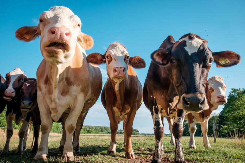 Low angle view of cows standing on field against clear sky