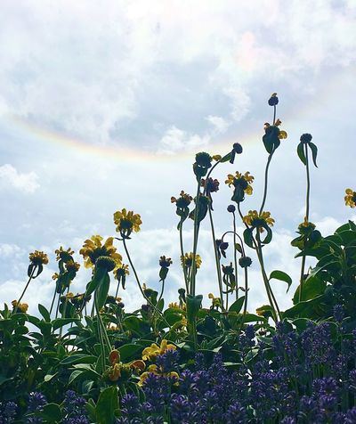 Flowers & Sun Dogs Beauty In Nature Blooming Blue Sky Close-up Cloud - Sky Day Flower Flower Head Flowers Flowers,Plants & Garden Fragility Freshness Growth Leaf Low Angle View Nature No People Open Edit Outdoors Petal Plant Rainbow Sky Sun Dog