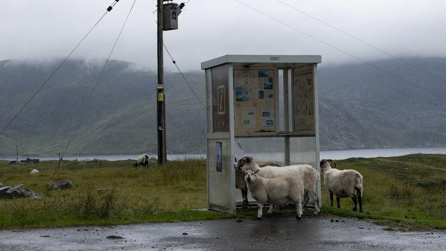 Animal Themes Animal Domestic Animals Group Of Animals Livestock Mountain Fog Road Sky Herbivorous Sheep Scotland Shelter Busstop Rain Rainy Days Rainy Day Highlands