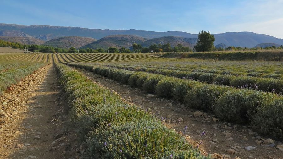 First Eyeem Photo Lavender Fields Fieldscape Fields And Sky Provence France🇫🇷