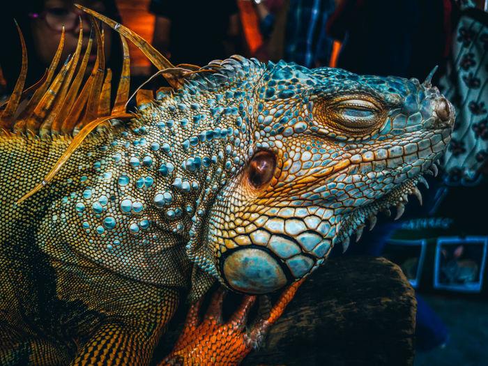 A close up shot of an iguana