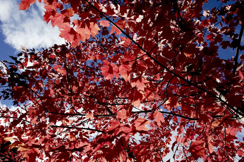 autumn colors Autumn Autumn Collection Autumn Colors Autumn Leaves Beauty In Nature Botany Branch Change Cloud - Sky Colorful Fragility Freshness Growth High Section Leaves Low Angle View Majestic Nature Season  Season  Tree
