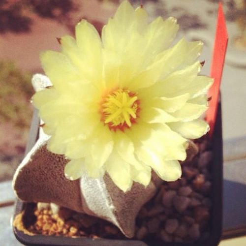 Astrophitum Astrophitum_coahuilensis Cacti Cactus yellow flower ink_361