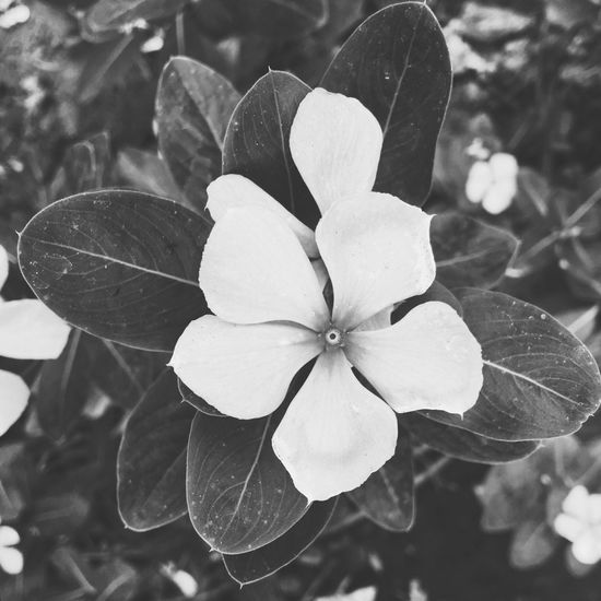IPhone Iphoneonly IPhoneography Shotoniphone6splus Blackandwhite Blackandwhite Photography Black & White Flowers Flowerporn Nature Mood Taking Photos Abstract Naturelovers Peace Tranquility Light Up Your Life Mypointofview Perspective A beautiful flower in black and white look.