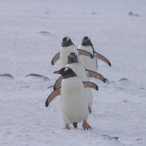 Full length of swan standing on snow
