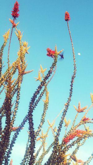 Ocotillo Hummingbird Spring