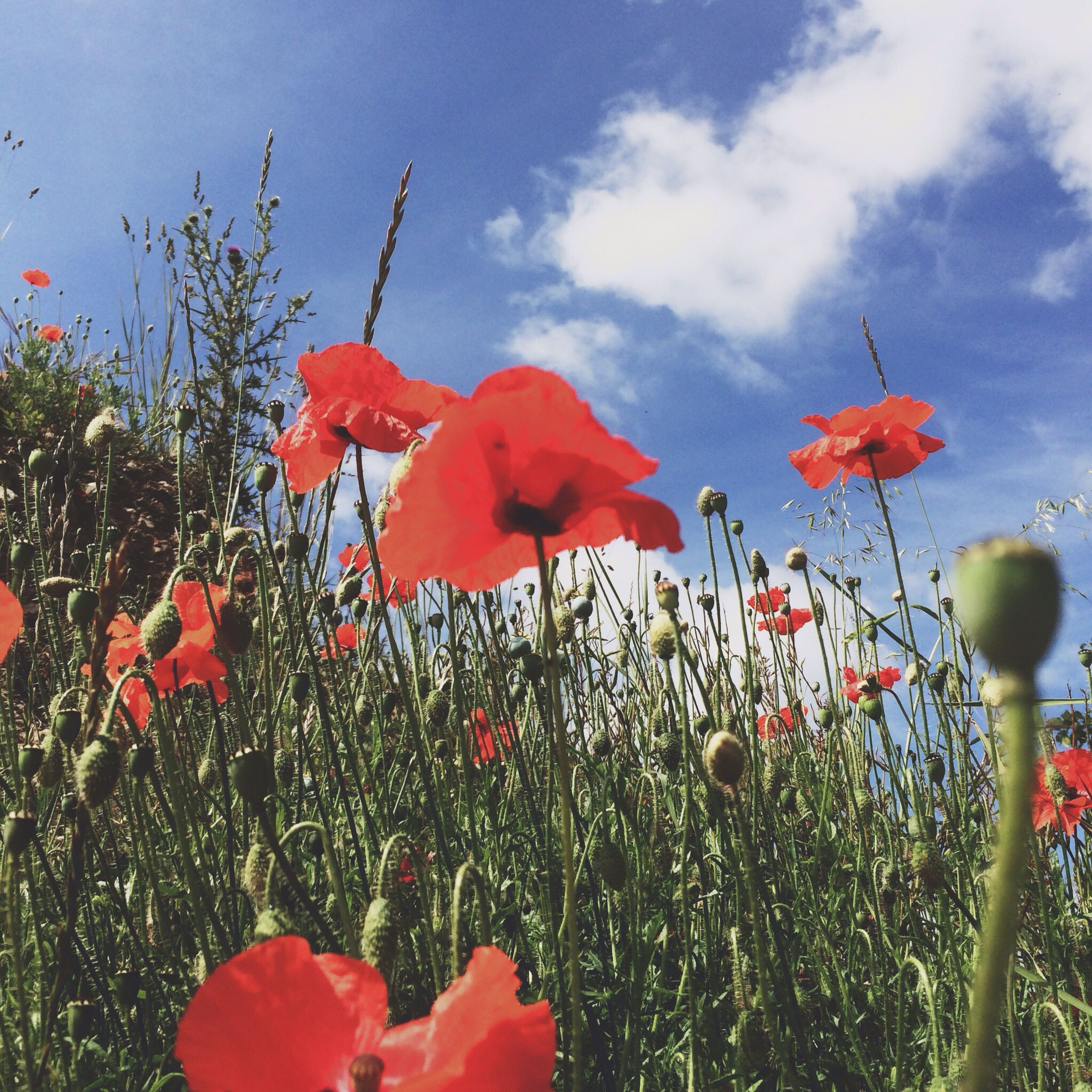 flower, red, freshness, fragility, growth, petal, poppy, beauty in nature, plant, sky, nature, flower head, blooming, field, leaf, cloud - sky, stem, day, close-up, in bloom