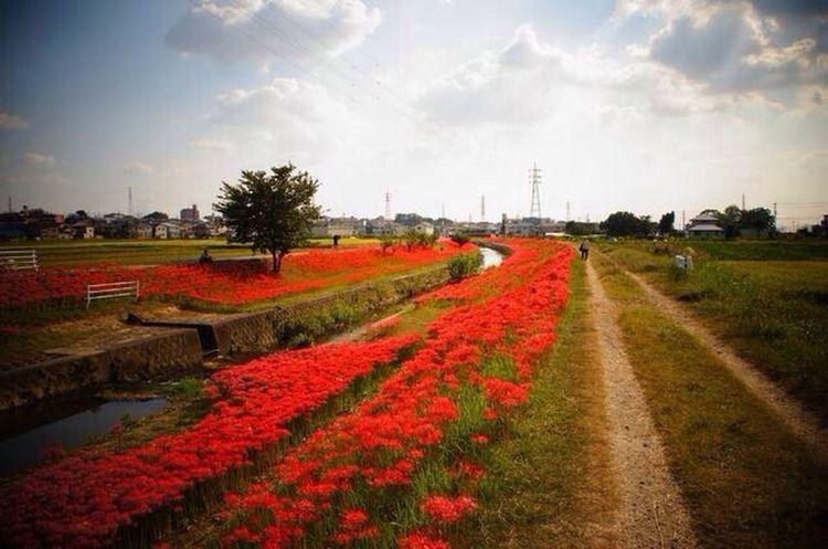 Japan Flowers EyeEm Nature Lover Cluster Amaryllis